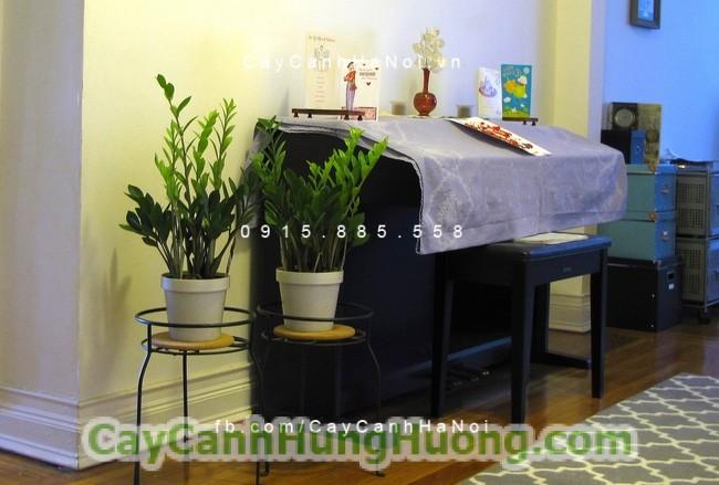 cây-kim-tiền-4 Mách bạn 5 loại cây cảnh nội thất đẹp nên trồng trong nhà