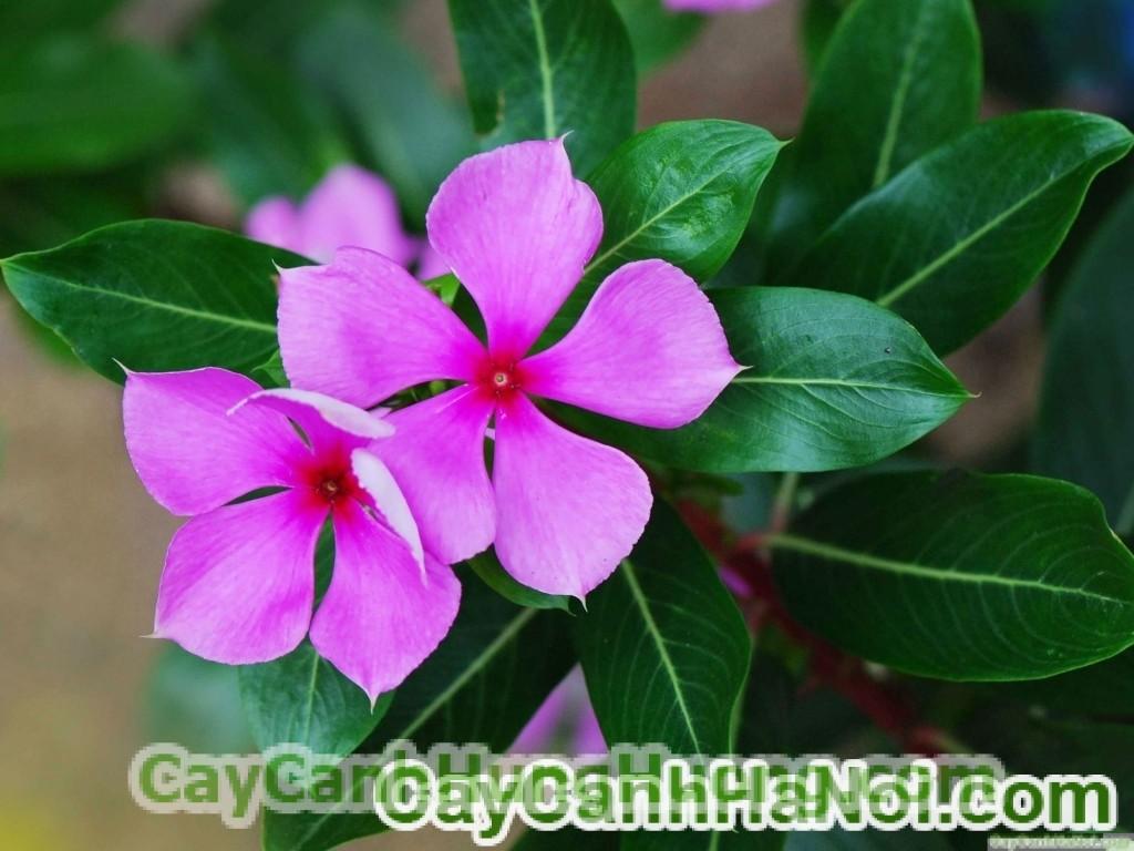 cay-hoa-dua-can-2-600x450 Hoa dừa cạn
