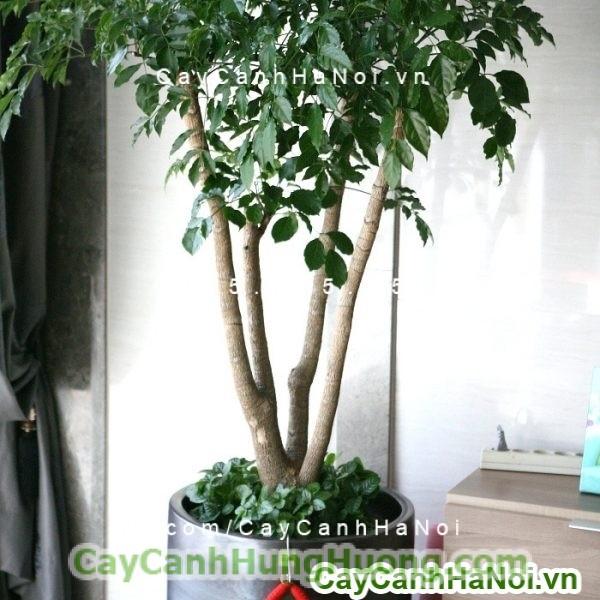 cay-hanh-phuc-tai-loc-560x560 Cây hạnh phúc