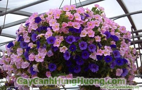cay-hoa-trieu-chuong-2 Hoa triệu chuông