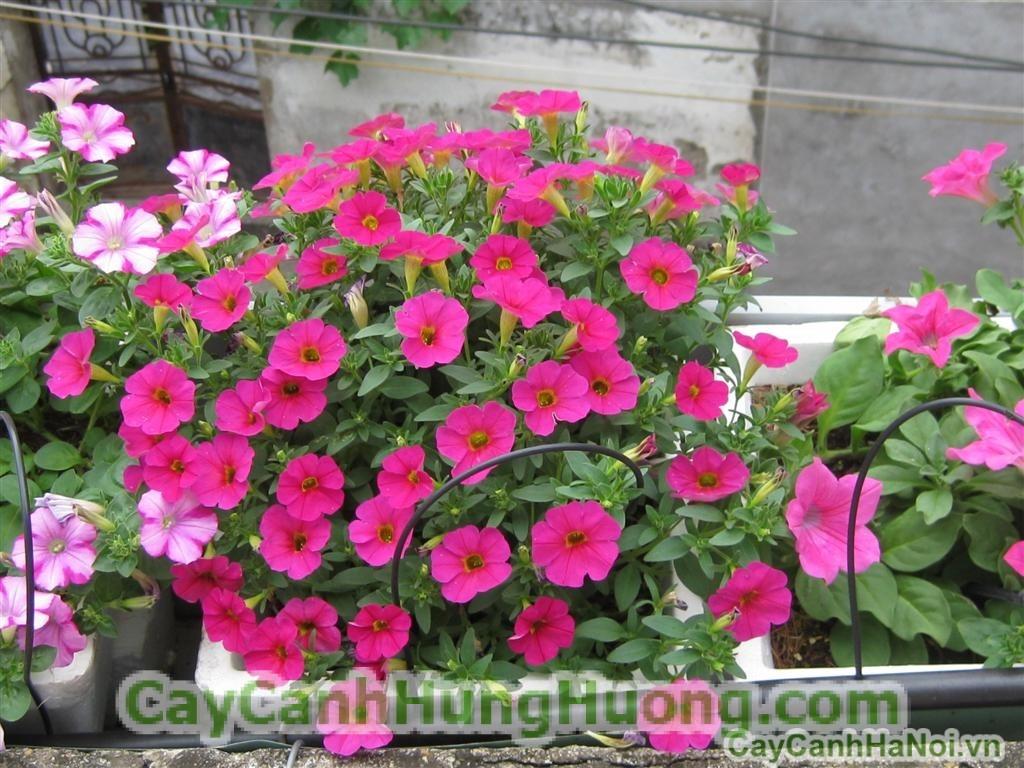 da-yen-thao1 Hoa dạ yến thảo