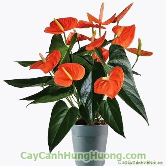 """Cây-May-Mắn-Phát-Tài-Trung-Thu4-600x450 """"Bật mí"""" các loại cây trong nhà hút tài lộc cho người tuổi Mão"""